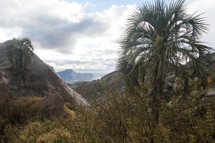 Palms Andringitra National Park
