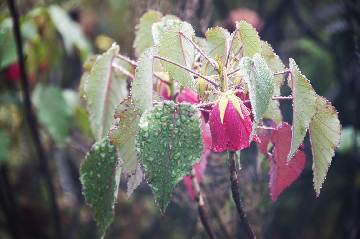 Madagascar Pink Flower in the Rain