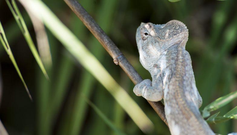 Madagascar Tsiribihina River Chameleon