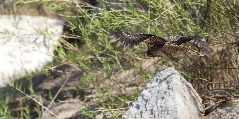 fisher eagle flying