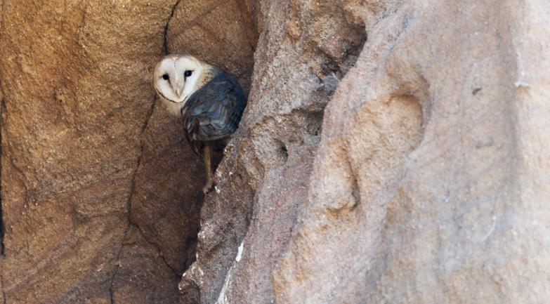 Tsiribihina River Masked Owl