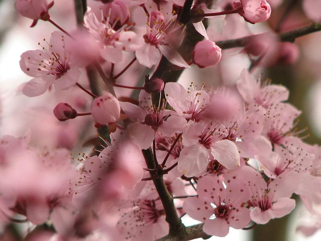 The Cherry Blossoms in Tokyo The Crowded Planet