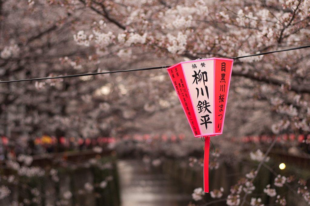 cherry blossoms tokyo