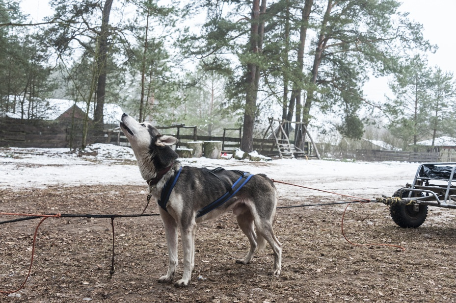 dog sledding harnessed