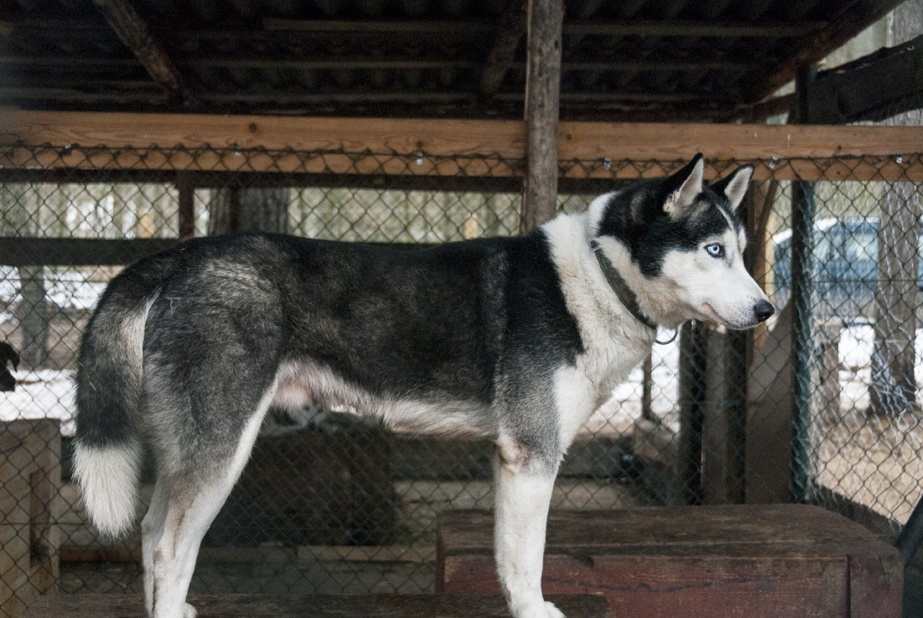 husky Dogs kennel lithuania