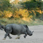 How the rhino got its horn – #JustOneRhino