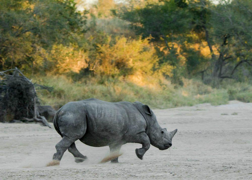rhino running sand