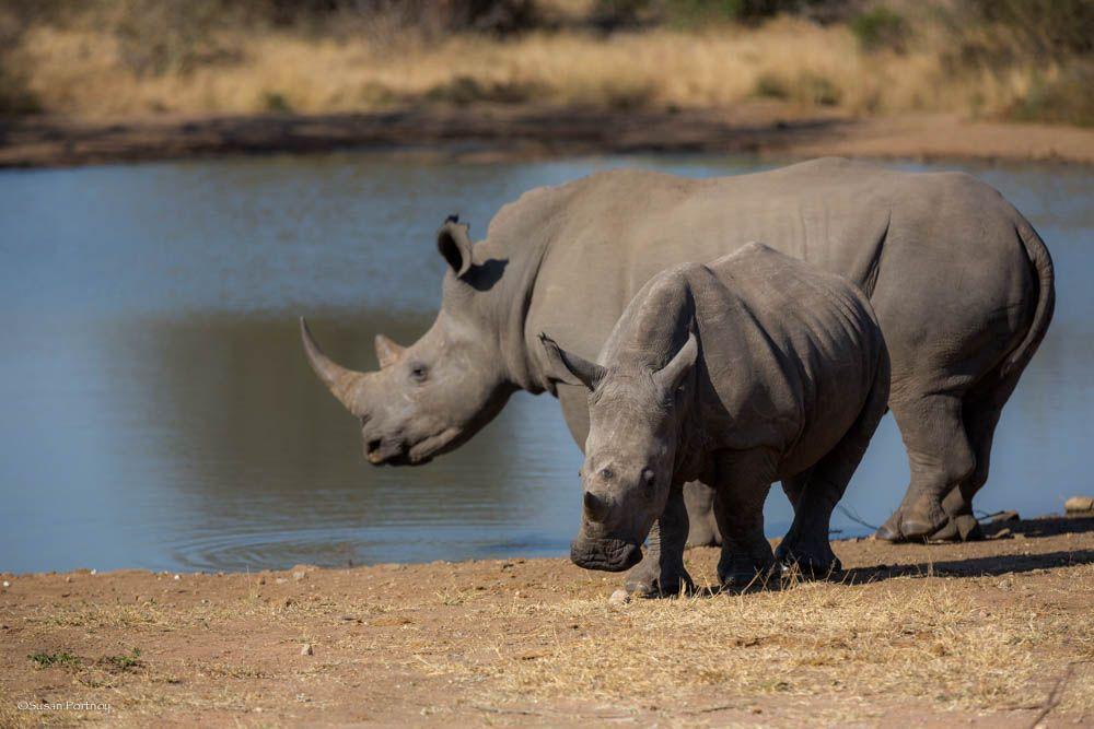 Rhino near water hole