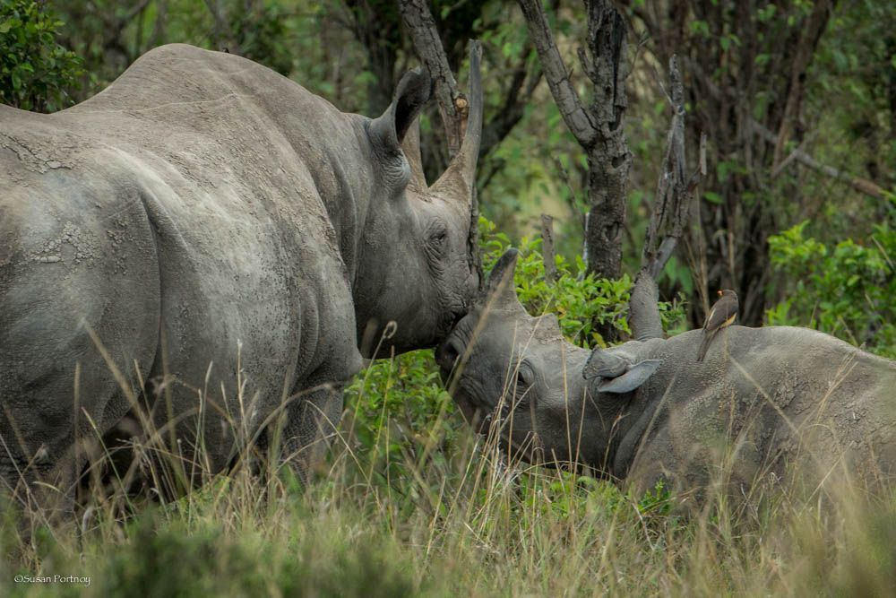 rhino kissing