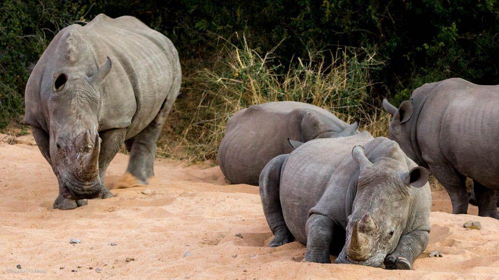 rhino in sand