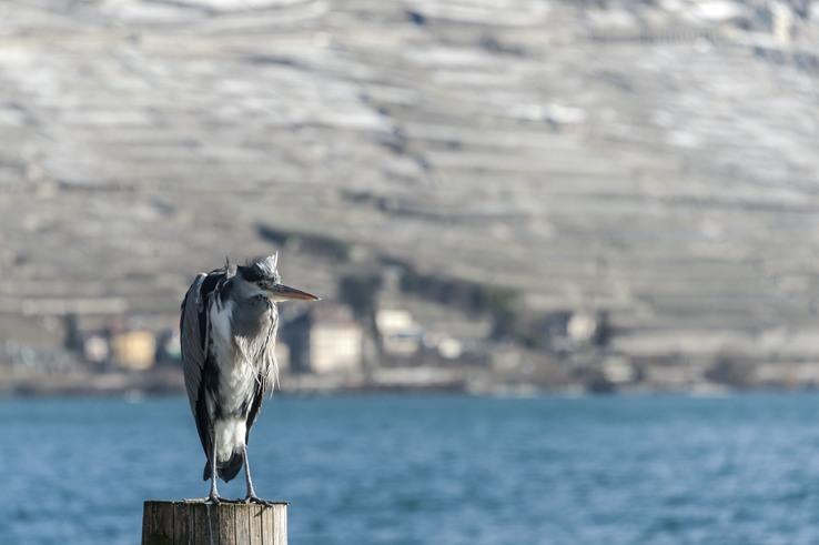 heron lake geneva lavaux