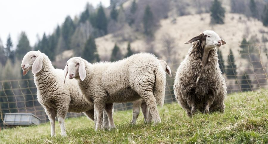sheep carnia alps italy