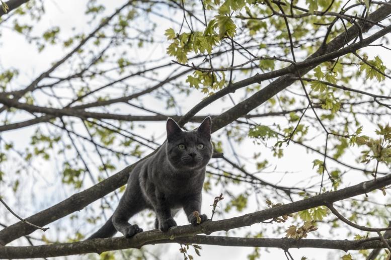 certosino cat on tree