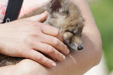 baby sleepy fox zoo pirineu