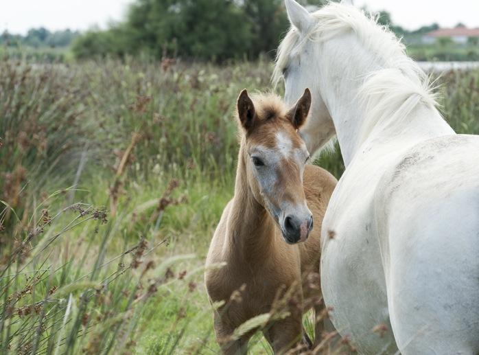 camargue horse baby ferrara