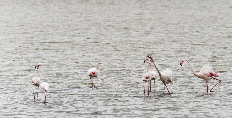 kissing flamingos po delta