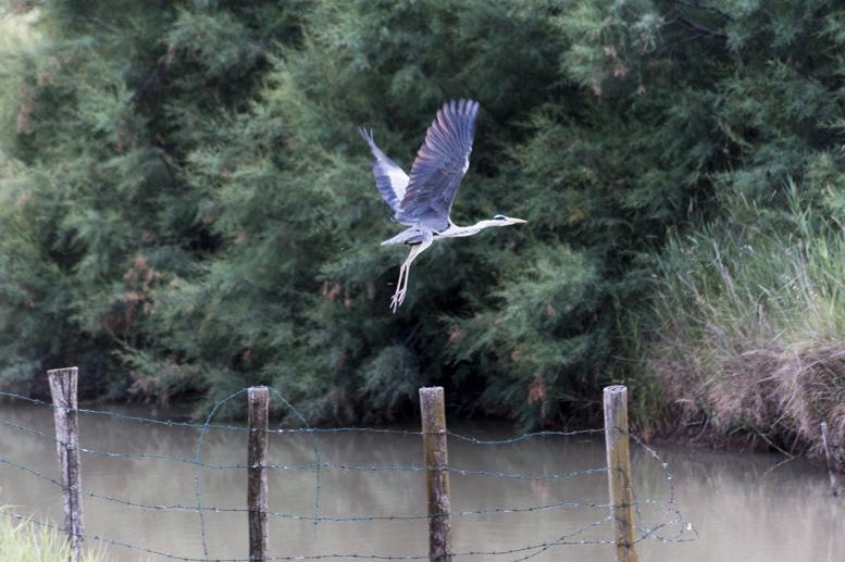 egret flying delta po