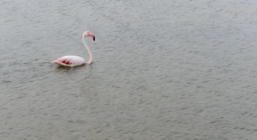 flamingo swimming lagoon