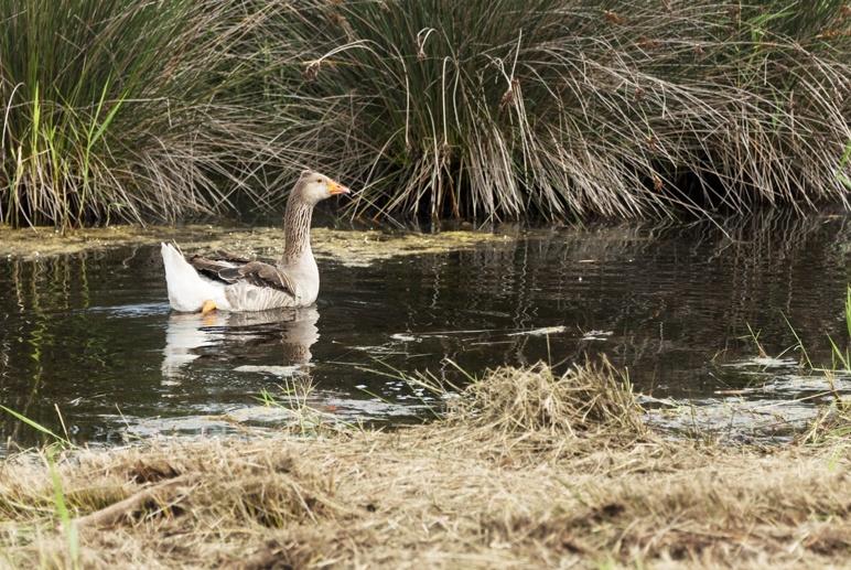 goose swimming pond