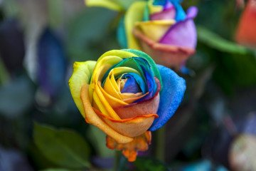 csd cologne rainbow roses