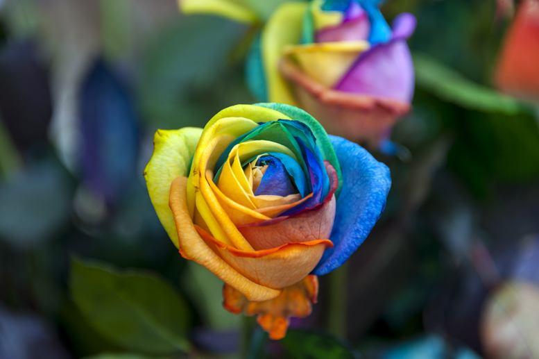 csd cologne rainbow roses