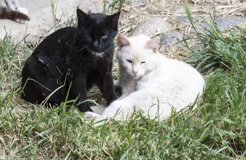 black cat white cat pyrenees