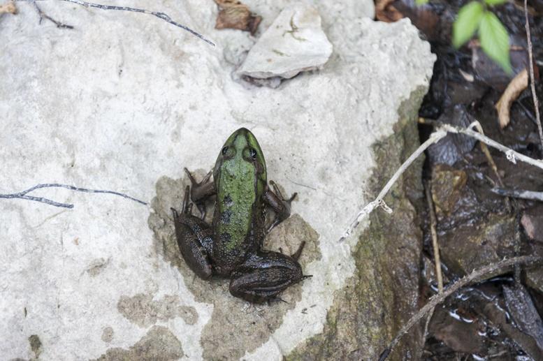 croatia plitvice frog