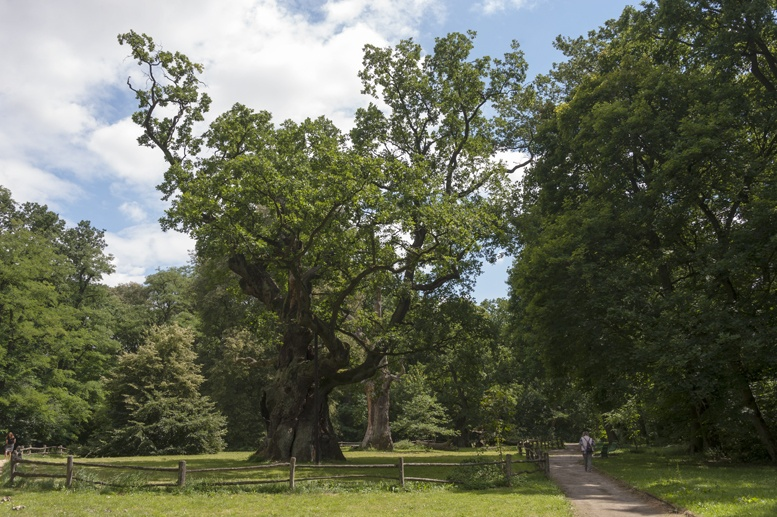 rogalin monumental oaks poland