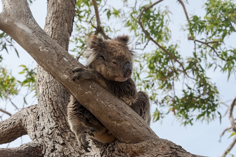 south australia wildlife koala