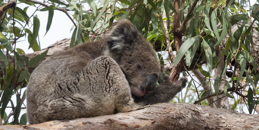 south australia wildlife koala sleepy