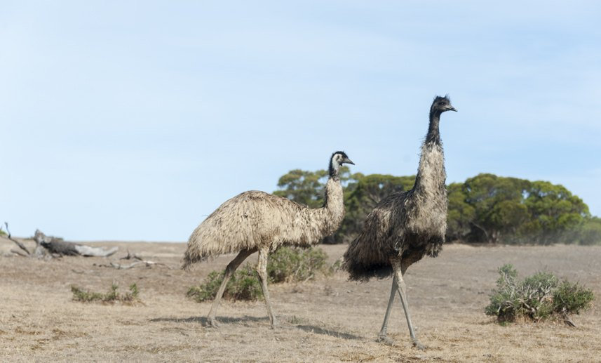 south australia emu walking