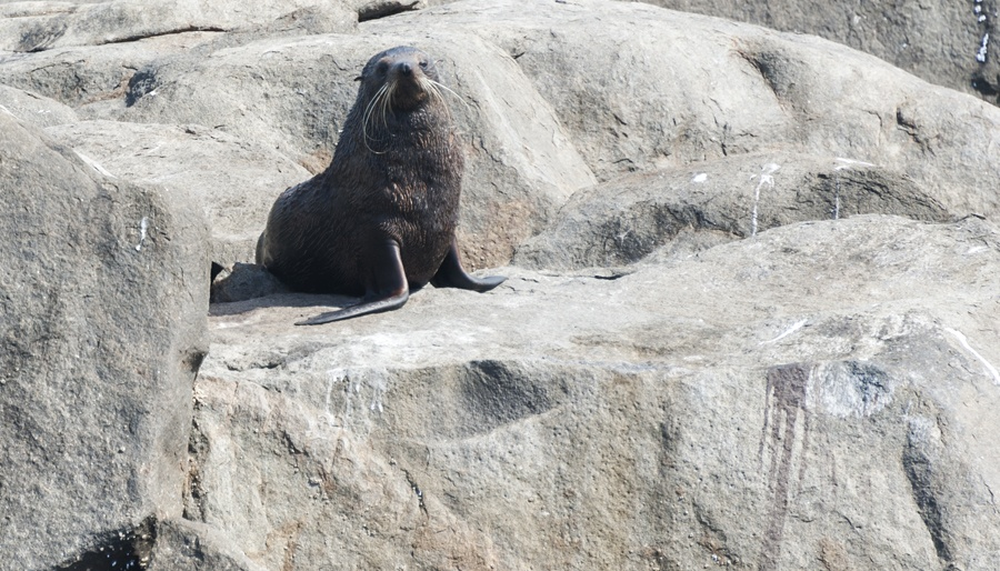 new zealand fur seal south australia