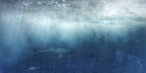 ethical shark diving great whites
