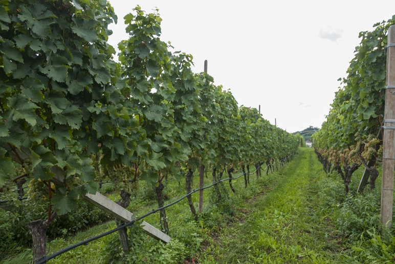 winery south tyrol vines