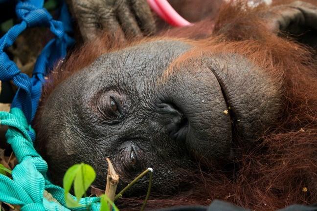 rescued orangutan indonesia