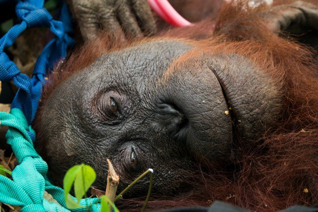 rescued orangutan indonesia