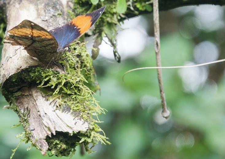 mulu sarawak butterfly