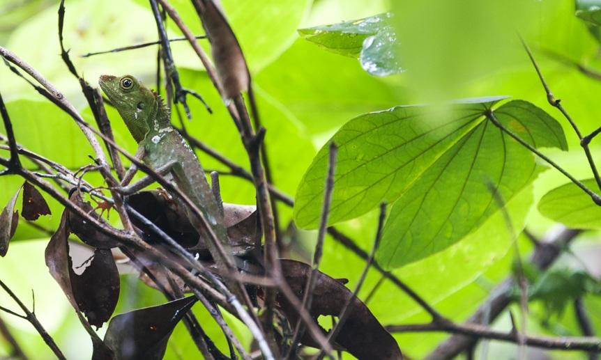 mulu national park lizard