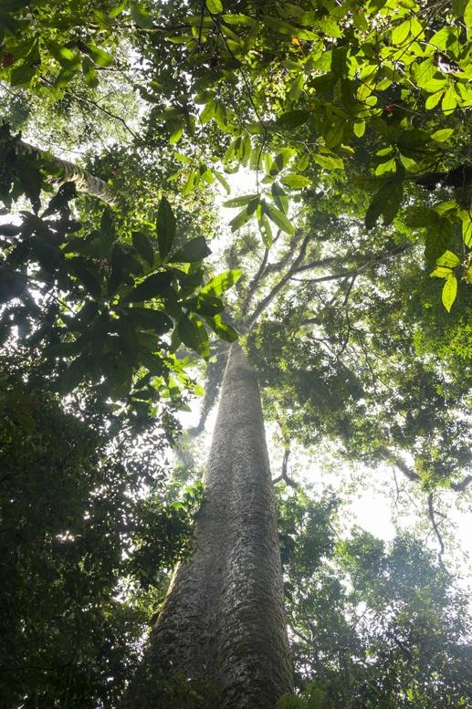 gunung mulu trees