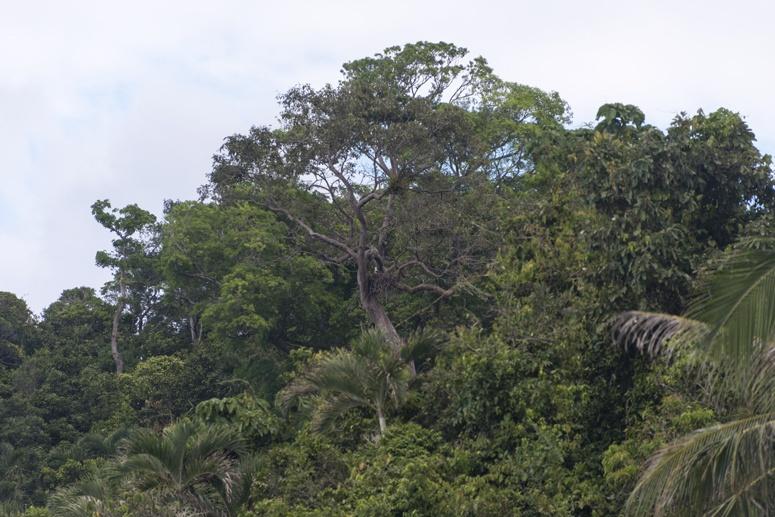 eagle tree danjugan philippines