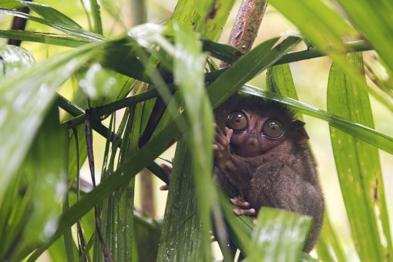 tarsier in the rain bohol philippines