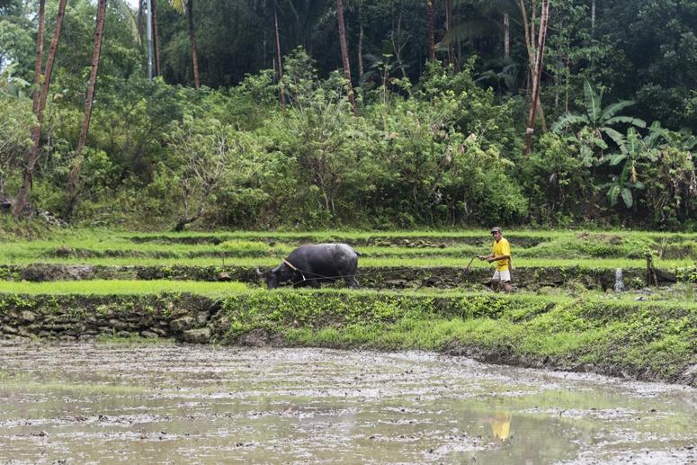 bohol buffalo plough philippines