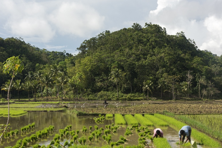 bohol rice paddies philippines