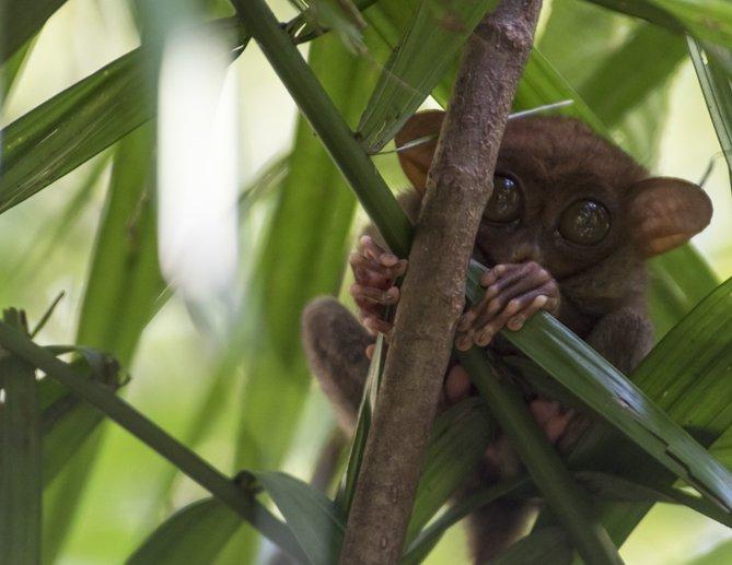 things to do in bohol tarsier