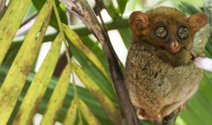 A cute Bohol tarsier