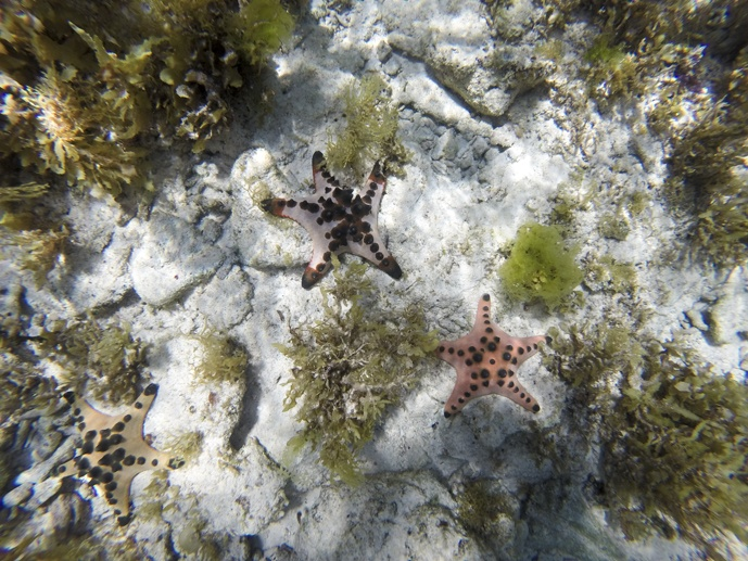 diving bohol starfish