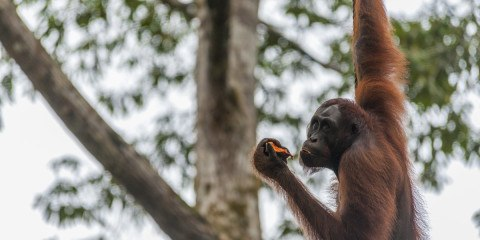 things to do in Sarawak orangutans