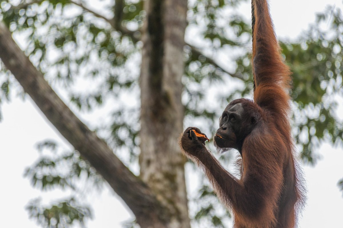 things to do in Sarawak orangutans