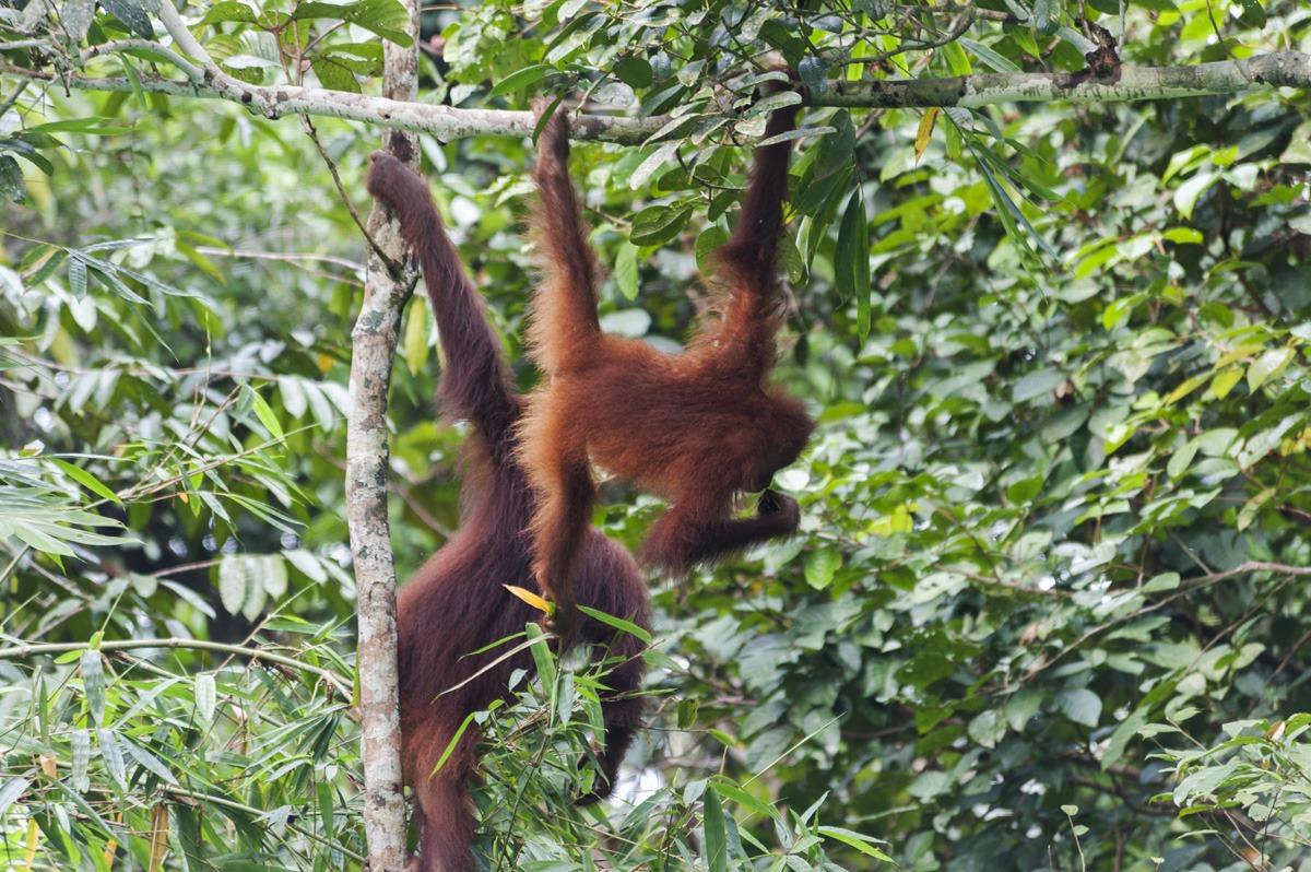semenggoh two orangutans back