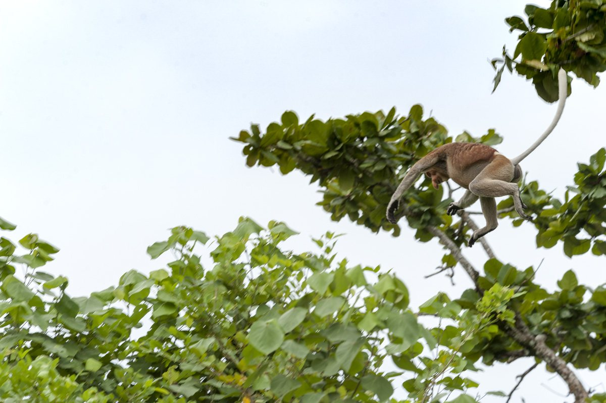 bako national park proboscis monkey jumping